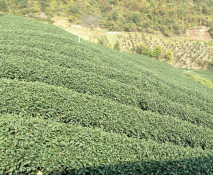 中茶種植基地
